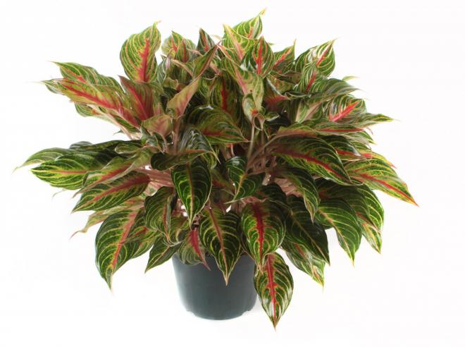 Aglaonema georgis ruby photo costa farms