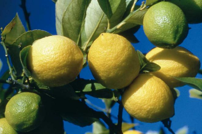 Ajuria citron