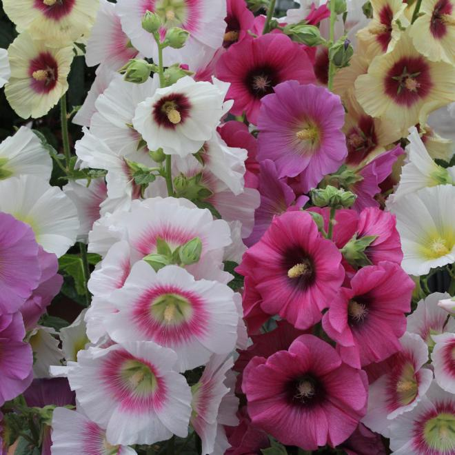 Alcea good golly miss holly