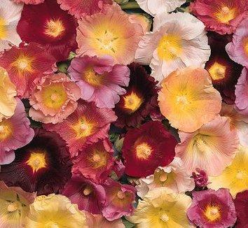 Alcea happy lights