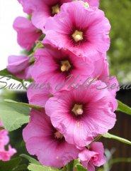 Alcea henry iii eight pink