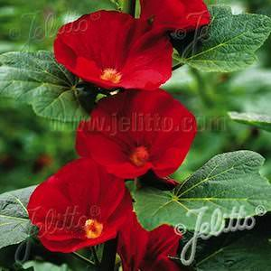 Alcea rosea hybrid mars magic hollyhock spotlight