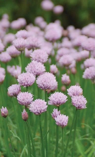 Allium x chivette