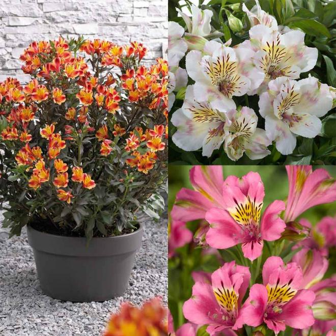 Alstroemeria collection summer paradise