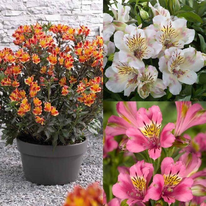Alstroemeria collection summer paradise