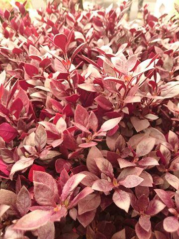 Alternanthera brasiliana little maroon