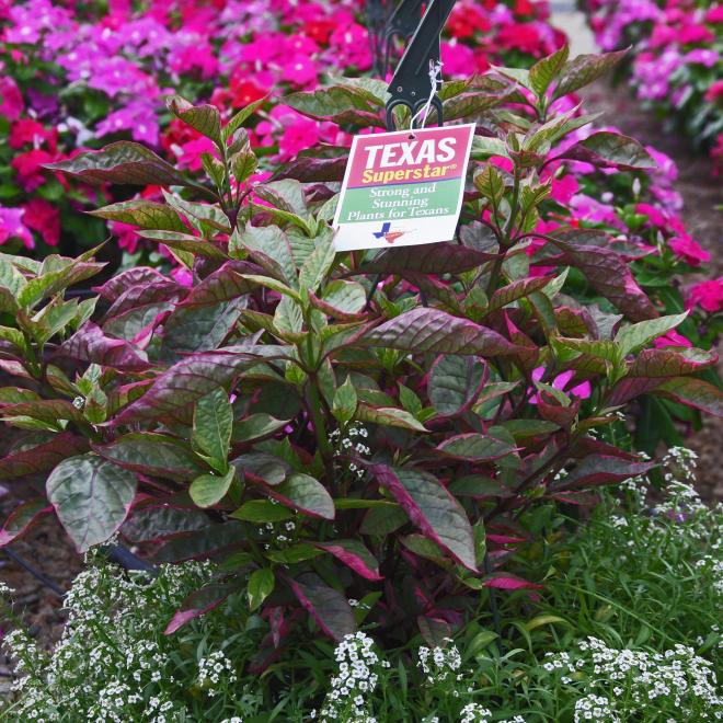 Alternanthera brazilian red hots photo dr brent pemberton texas am agrilife research 2