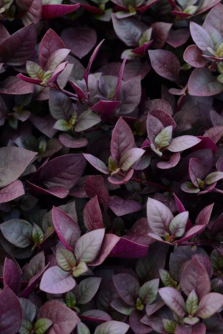 Alternanthera purple prince photo panamerican seed