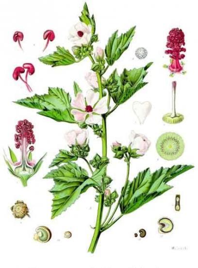 Althaea officinalis kohler s medizinal pflanzen 008