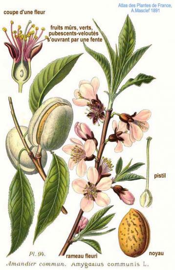 Amandier planche botanique zoom