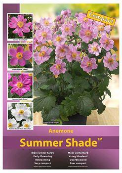 Anemone summer shade