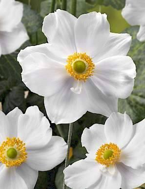 Anemone summer shadewhite attraction