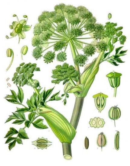 Angelica archangelica kohler s medizinal pflanzen 158