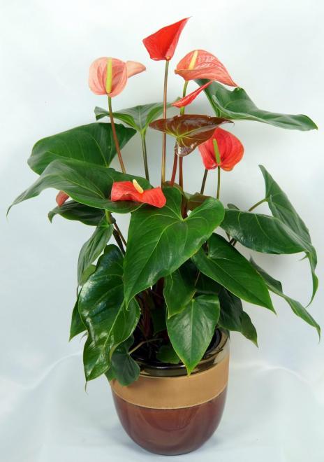 Anthurium arent you orange photo oglesby plants international