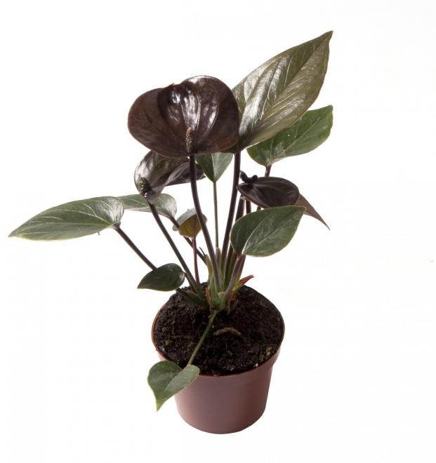 Anthurium black love photo lundager