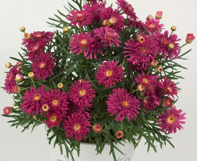 Argyranthemum aramis semi double rose eye