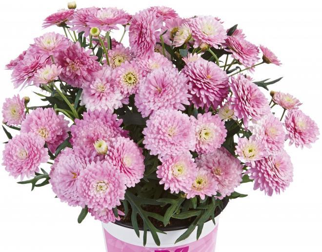 Argyranthemum double pink