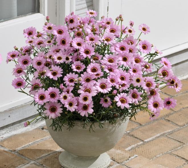 Argyranthemum grandaisy collection photo mnp flowers