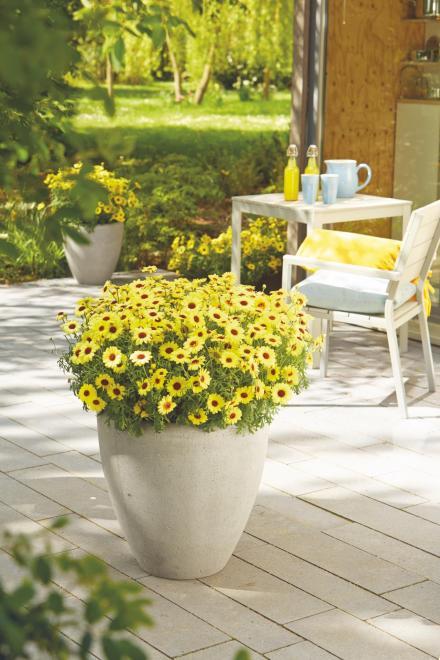 Argyranthemum grandaisy photo fleuroselect
