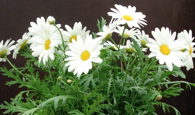 Argyranthemum limero white