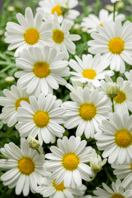 Argyranthemum pure white butterfly photo proven winners