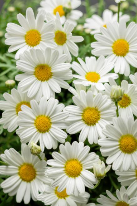 Argyranthemum pure white butterfly photo proven winners