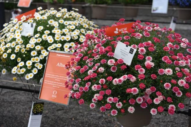 Argyranthemum serie alba