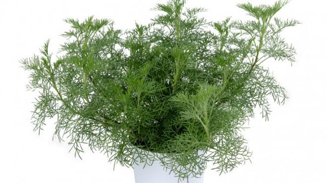 Artemisia arbotanum photo hishtil