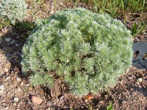 Artemisia armoise schidtiana nana