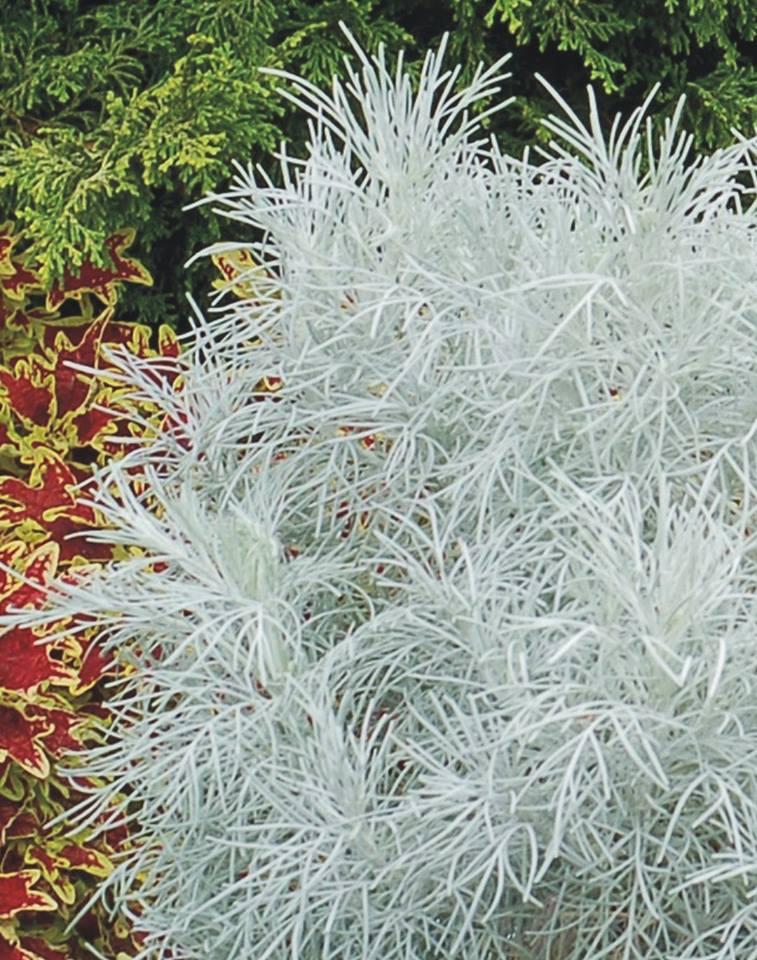 Artemisia makana silver 1