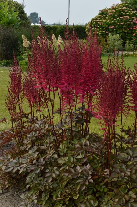 Astilbe chocolate cherry photo hans van der meer