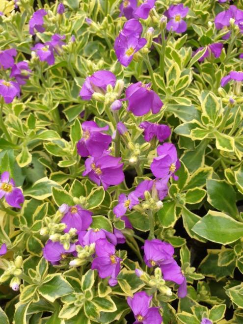 Aubrieta dr mules variegata