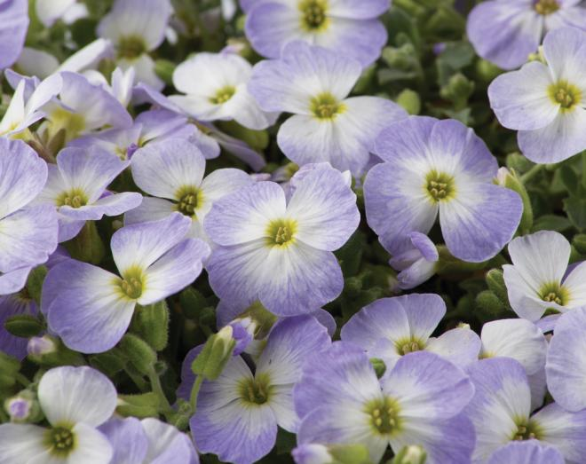 Aubrieta gracilis florado blue blush bicolour 31632 2