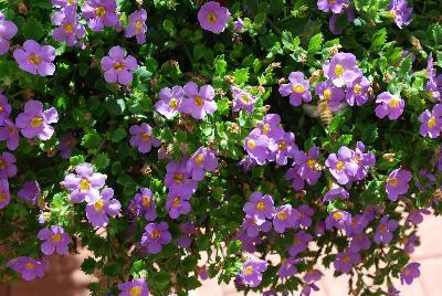 Bacopa big falls summer blue