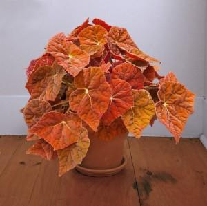 Begonia autumn ember photo cultivaris north america 300x298