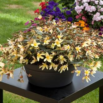 Begonia boliviensis bonaparte yellow