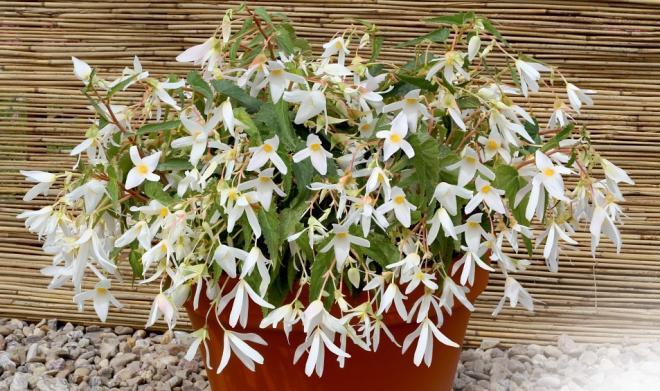 Begonia boliviensis f1 santa barbara photo benary 1