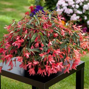 Begonia bossa nova pink glow small 14085783