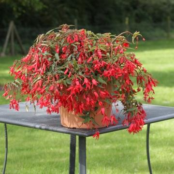 Begonia bossa nova red 12091298 360 360 c1 c c 0 0