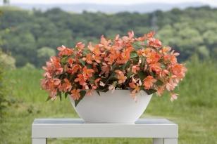 Begonia californiasunlightambiente