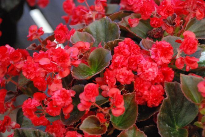 begonia-doublet-red.jpg