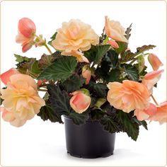 Begonia fragant falls peach