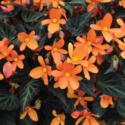 begonia-glowing-embers-2.jpg
