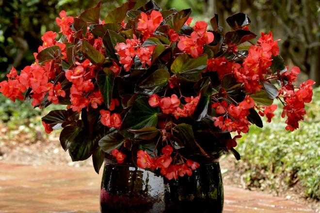 Begonia megawatt red bronze