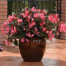 Begonia megawatt rose bronze