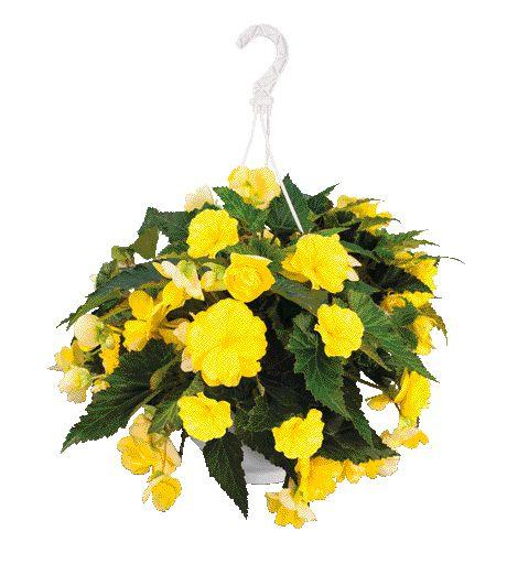 Begonia nonstop joy yellow c8270 1