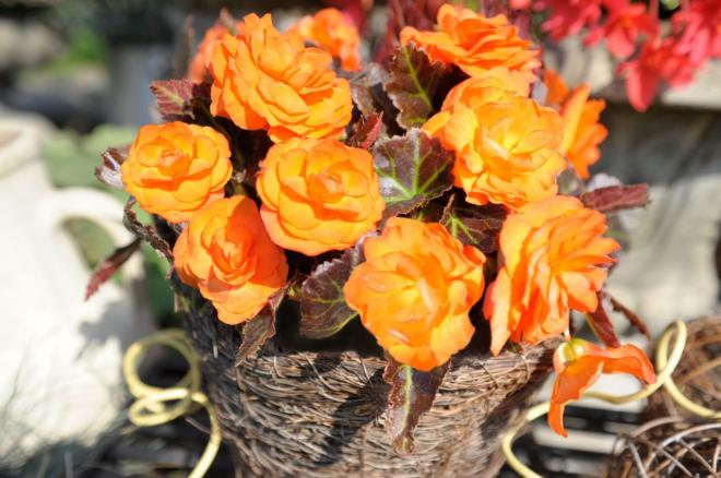Begonia nonstop mocca bright orange c7510 3
