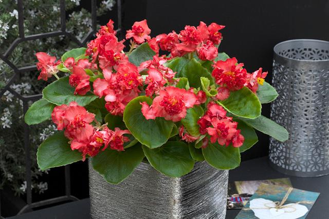 Begonia semperflorens f1 fiona red takii