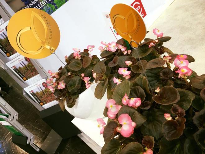 Begonia senator rose