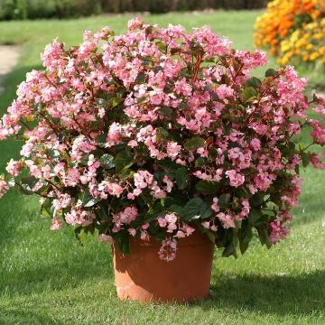 Begonia stara rose